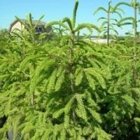 Саженцы декоративных деревьев и кустарников (зкс)