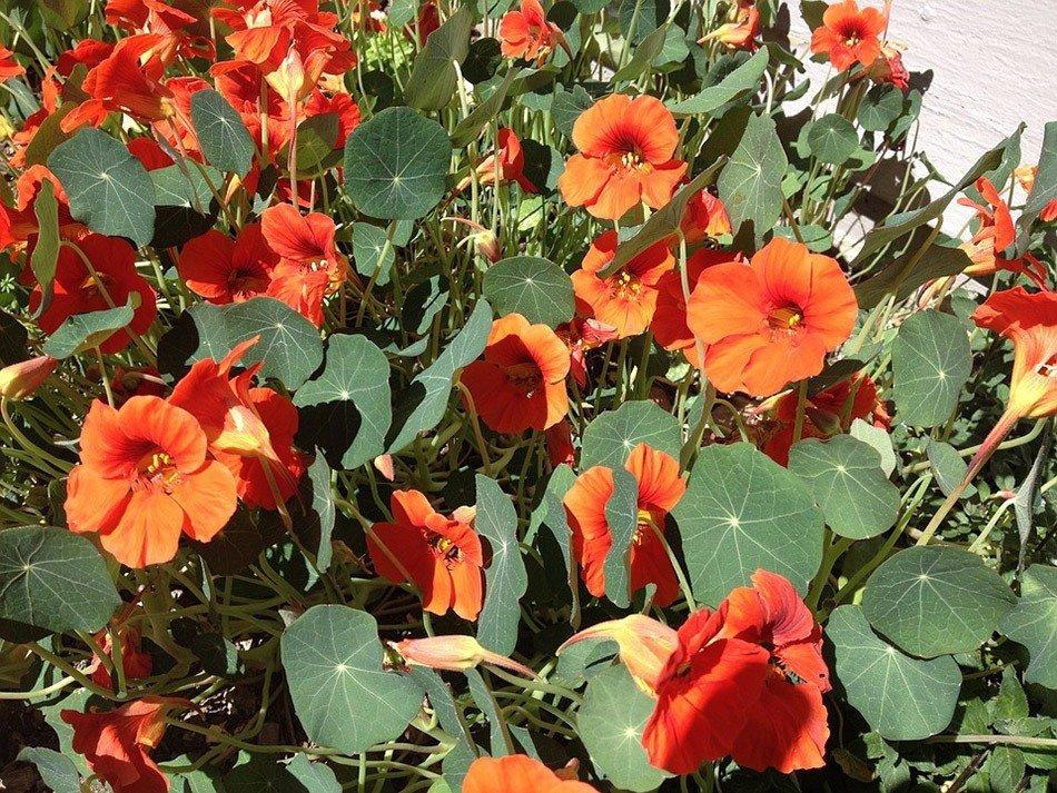 ТОП-5 однолетних цветов для дачи.  Настурция фото 2