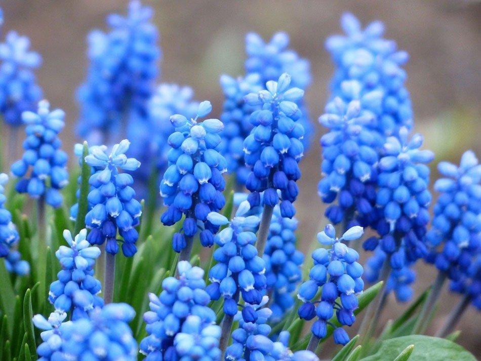 Какие цветы посадить на даче. ТОП-5 многолетних цветов. Мускари фото 1