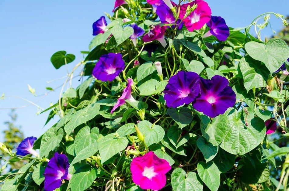 ТОП-5 однолетних цветов для дачи. Ипомея фото 1
