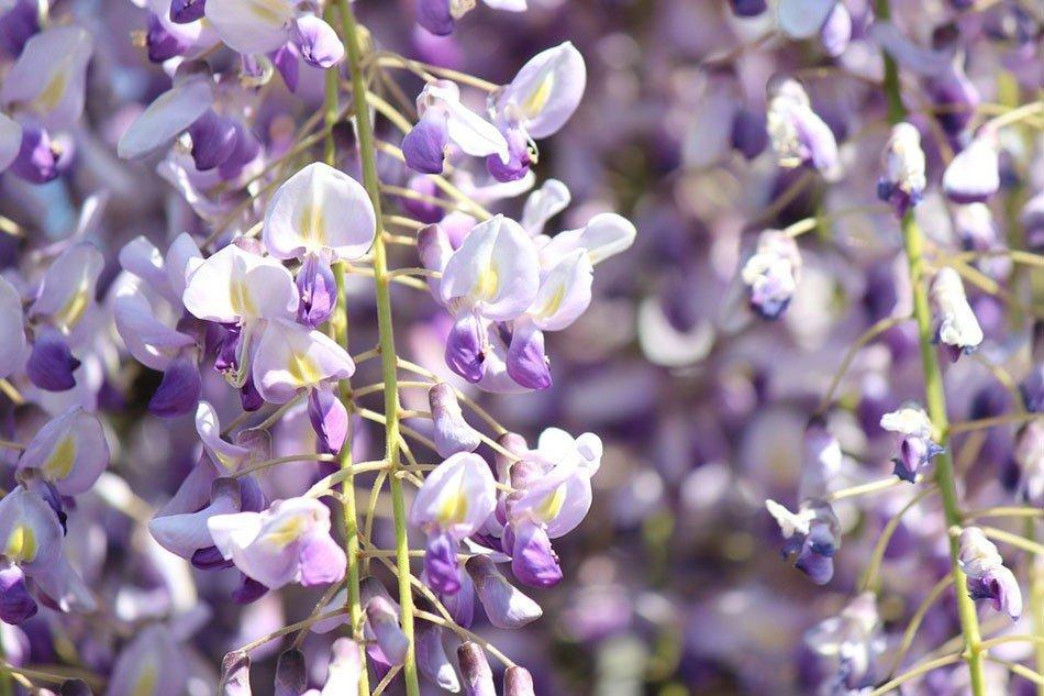 Какие цветы посадить на даче. ТОП-5 многолетних цветов.  Глициния фото 3