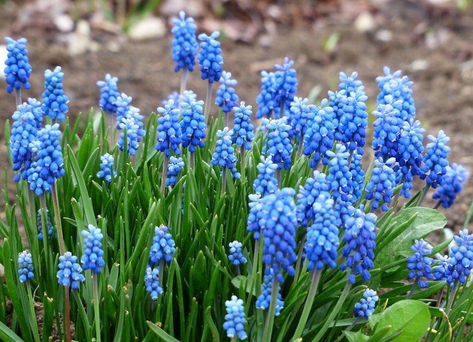 Какие цветы посадить на даче. ТОП-5 многолетних цветов. Мускари фото 2