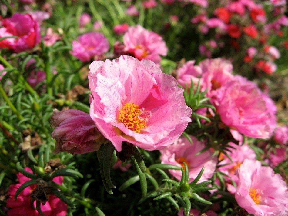 ТОП-5 однолетних цветов для дачи.   Портулак фото 3