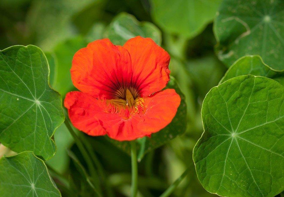 ТОП-5 однолетних цветов для дачи.  Настурция фото 1