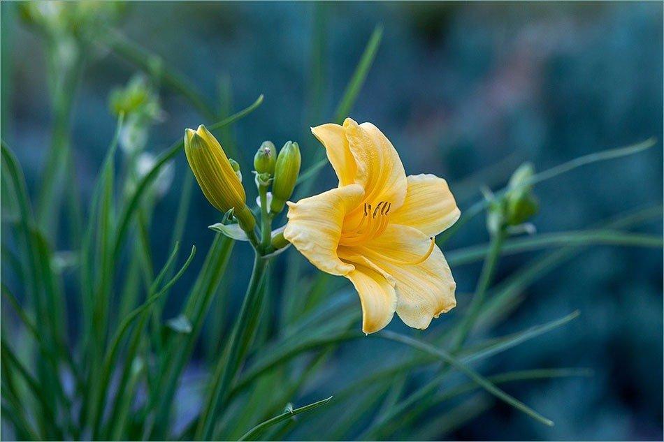 Какие цветы посадить на даче. ТОП-5 многолетних цветов.  Лилейник фото 2