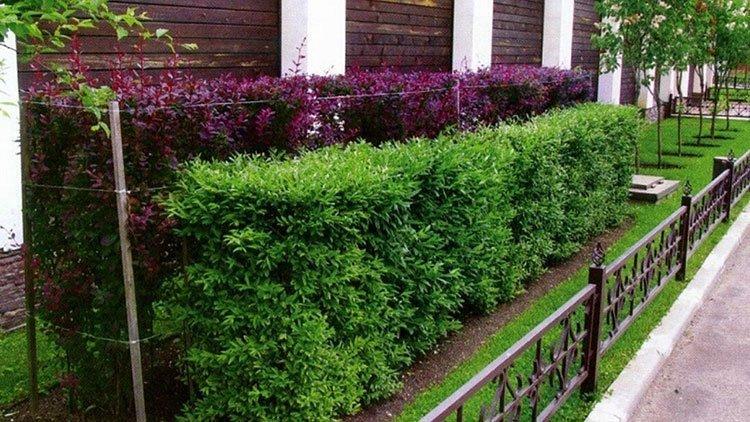Идея для живой изгороди: цвет фото 4