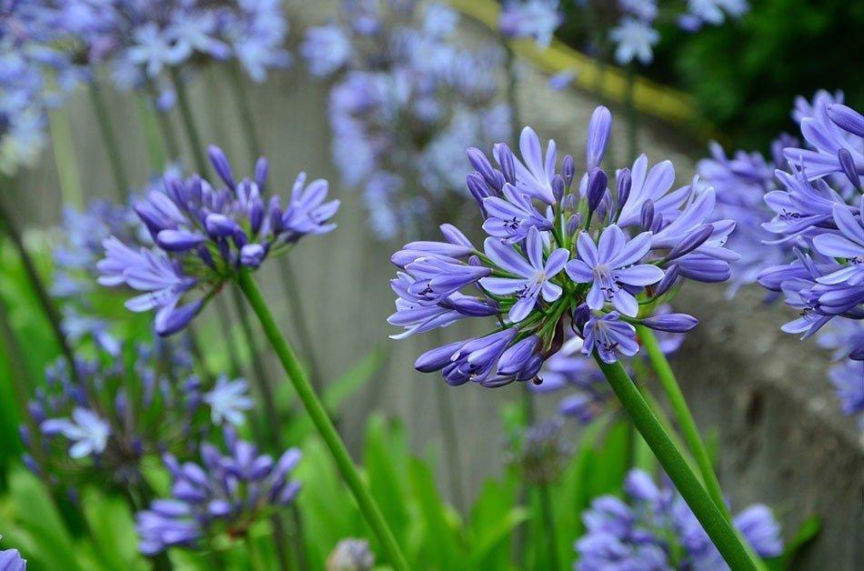Какие цветы посадить на даче. ТОП-5 многолетних цветов. Агапантус фото 2