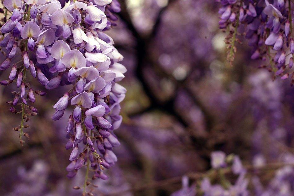 Какие цветы посадить на даче. ТОП-5 многолетних цветов.  Глициния фото 2