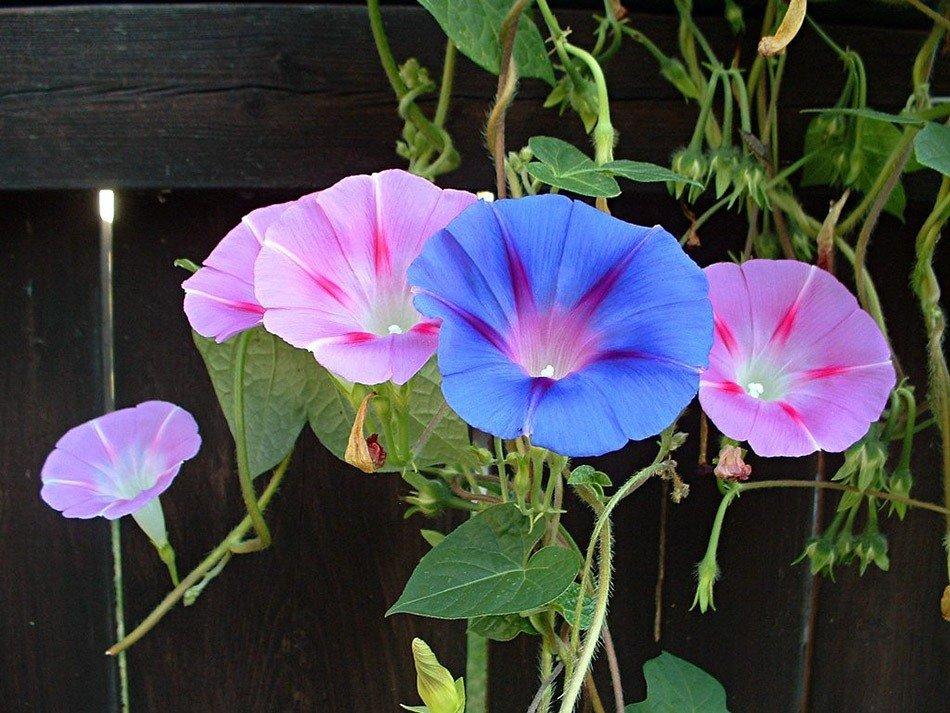 ТОП-5 однолетних цветов для дачи. Ипомея фото 3