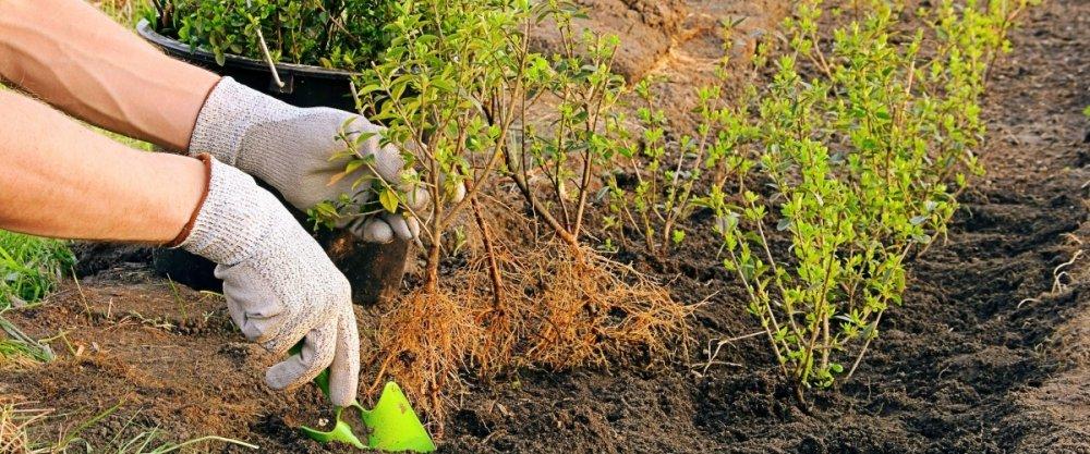 Как сделать живую изгородь на даче. Создание, растения и уход за живой изгородью