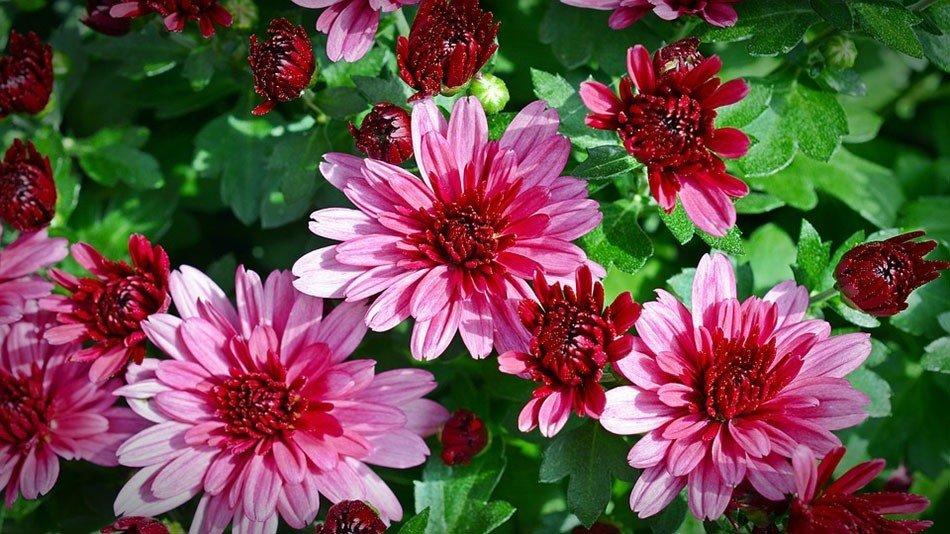 ТОП-5 однолетних цветов для дачи. Хризантемы фото 1