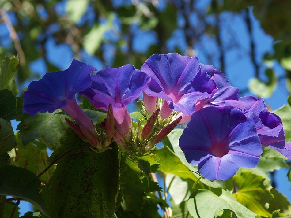 ТОП-5 однолетних цветов для дачи. Ипомея фото 2