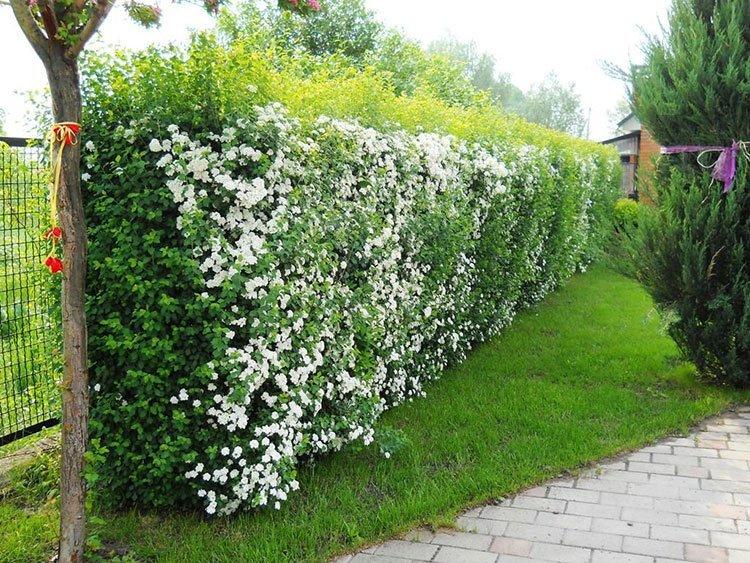 Идея для живой изгороди: цветущая стена фото 3