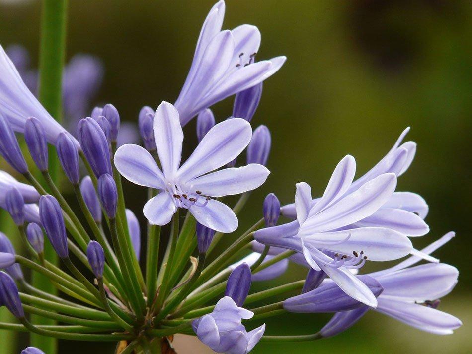 Какие цветы посадить на даче. ТОП-5 многолетних цветов. Агапантус