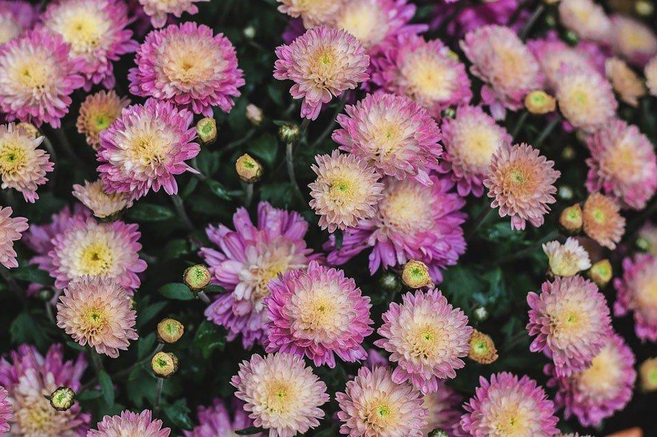 ТОП-5 однолетних цветов для дачи. Хризантемы фото 3