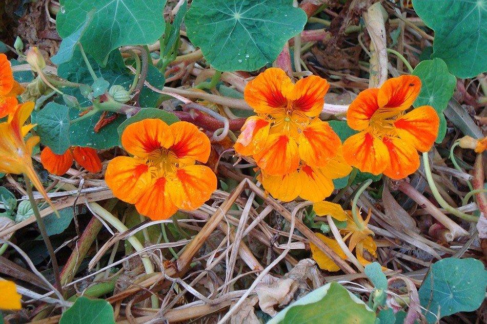 ТОП-5 однолетних цветов для дачи.  Настурция фото 3