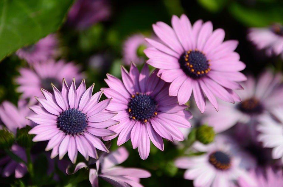 ТОП-5 однолетних цветов для дачи. Хризантемы фото 2