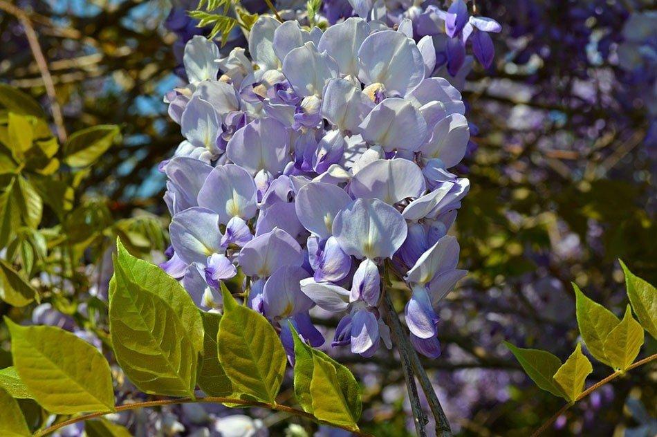 Какие цветы посадить на даче. ТОП-5 многолетних цветов.  Глициния фото 1