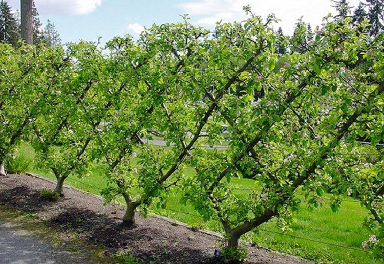Идея для живой изгороди:  из плодовых кустарников фото 2