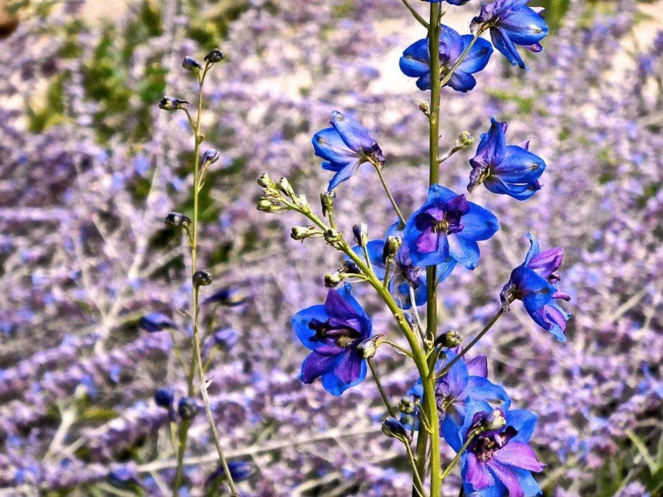 ТОП-5 однолетних цветов для дачи.  Дельфиниум фото 2