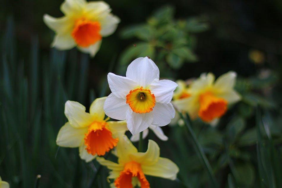 Какие цветы посадить на даче. ТОП-5 многолетних цветов. Нарцисс фото 3
