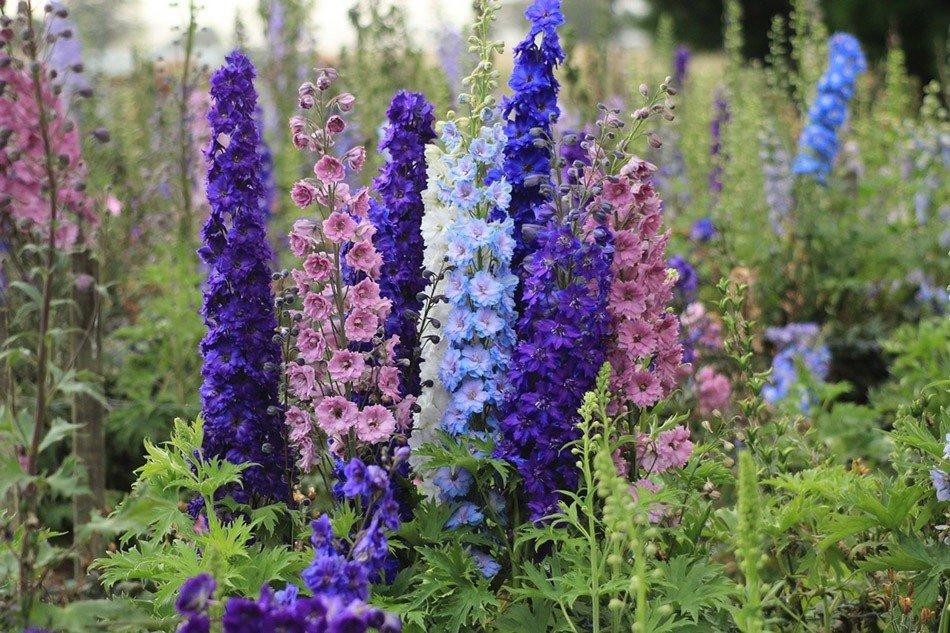 ТОП-5 однолетних цветов для дачи.  Дельфиниум фото 3