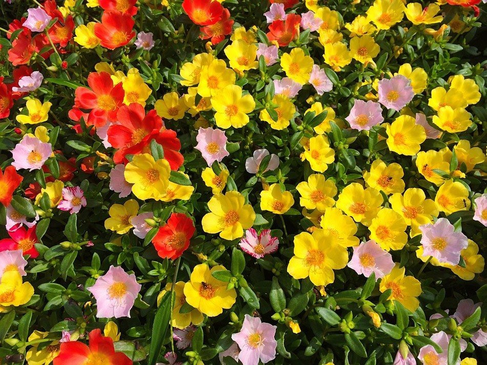 ТОП-5 однолетних цветов для дачи.   Портулак фото 1
