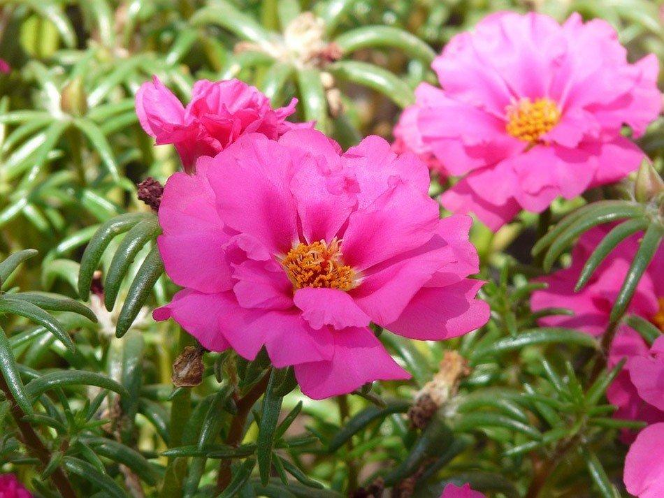 ТОП-5 однолетних цветов для дачи.   Портулак фото 2