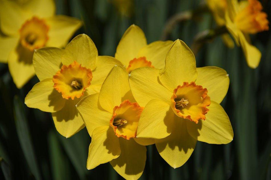 Какие цветы посадить на даче. ТОП-5 многолетних цветов. Нарцисс