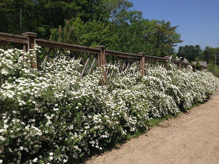 Идея для живой изгороди: цветущая стена фото 1